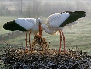 Аисты вьют гнездо